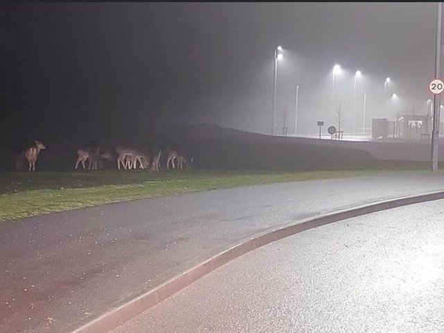 Some of the deer next to a new development in Corby. Picture: Emma Graves.