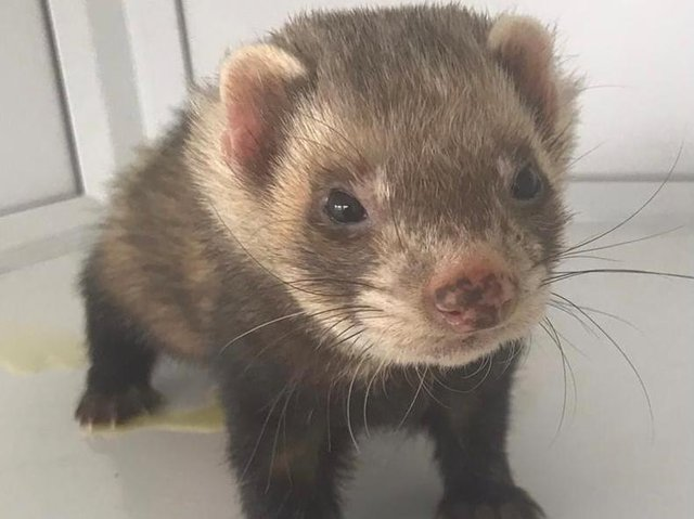 One of the ferrets in need of re-homing